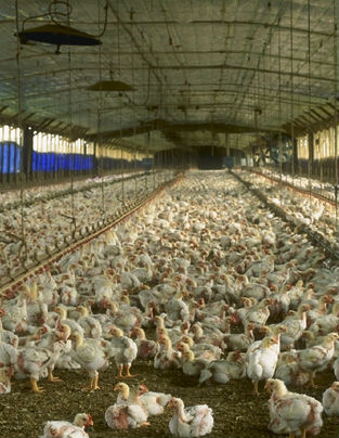 Industrial Chicken Production Plant, Photo: USDA