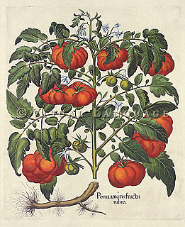 Botanical Illustration of a Tomato vine (hand-colored copper engraving), Besler, c. 1640